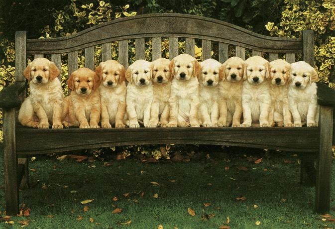 AKC Golden Retriever Pet Adoption - Northern California