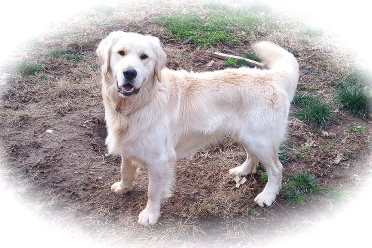 AKC Golden Retriever Pet Adoption - Northern California
